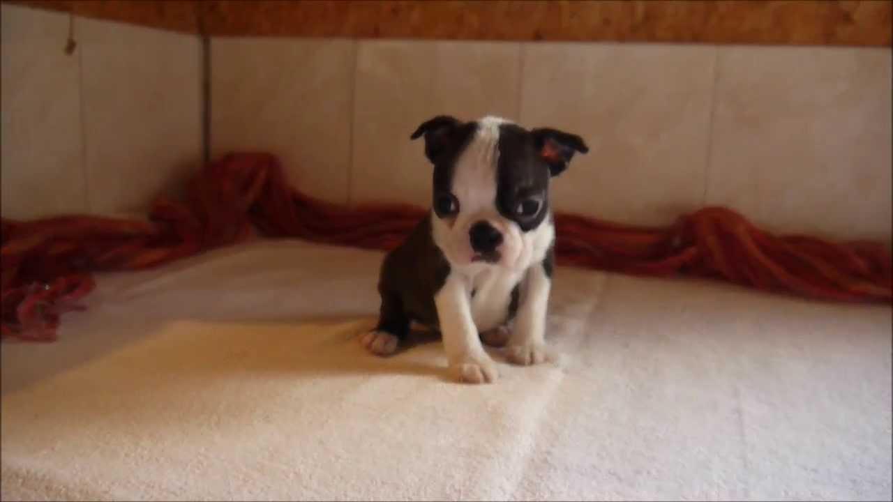 chiot boston terrier femelle de 6 semaines de Grafitti et