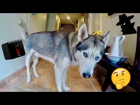Spying on my Husky Gohan! - Testing the Petcube Play!