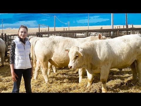 DeBruycker Charolais Bull Sale 2021, Montana