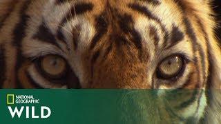 Tygrys Kumal śledził swoją wybrankę aby upewnić się czy jest sama! [Tygrys w opałach]