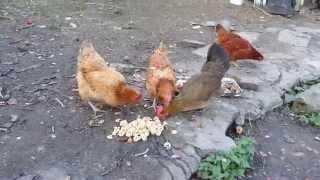 Animals - Hen eating ( Zwierzęta - Kury podczas jedzenia )
