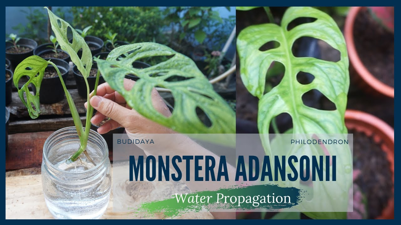 Budidaya Monstera Adansonii Dengan Media Air Water Propagation Youtube