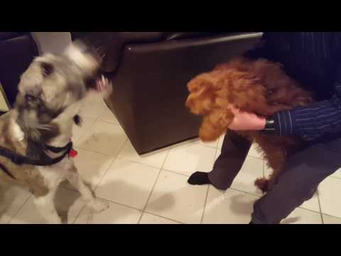 Charlie the Goldendoodle VS Cousin Oscar