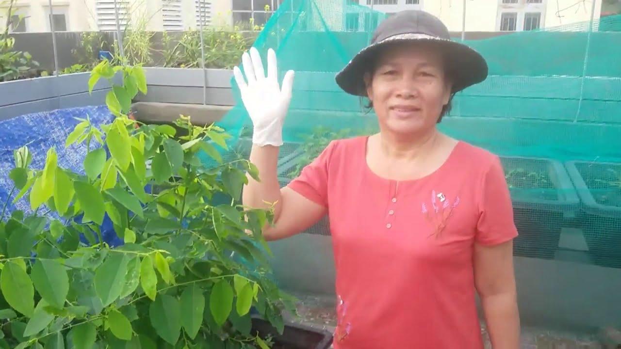Rau Bồ Ngót , làm sao cho rau mướt, ra nhiều nhánh , cắt được nhiều lần | Khoa Hien 244