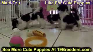 MaltiTzu, Puppies, For, Sale, In, Valdosta, Georgia, GA, Athens, Augusta, Columbus