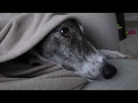 The Idiosyncrasies of Our Retired Greyhound