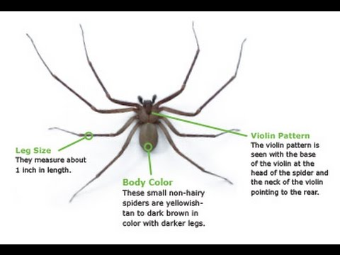 How To Identify a Brown Recluse Spider - YouTube