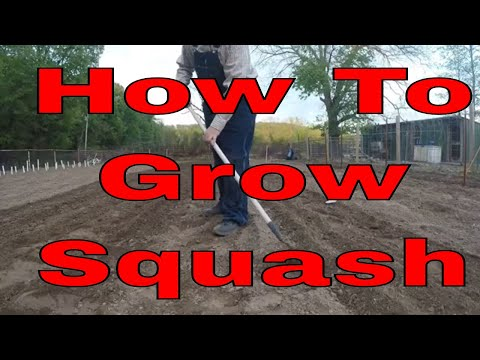 growing-squash-from-seed