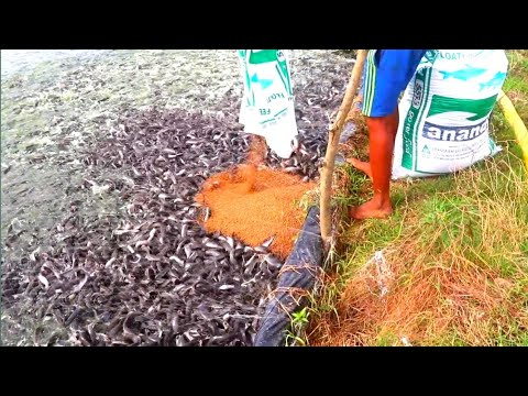 WOW || Million Catfish Fight for Food in Pond || Hybrid