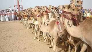 خادم الحرمين يطلق اليوم مهرجان «الجنادرية 31».. ويشهد سباق الهجن السنوي الكبير