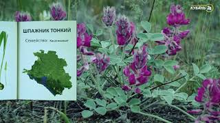 «Красная книга Кубани». Шпажник тонкий