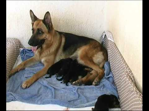 Cuccioli di pastore Tedesco Deutsche Schaferhund