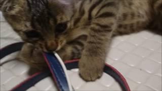 可愛い子猫。元気な男の子。LINEスタンプ作っていると邪魔する。ウサビ...