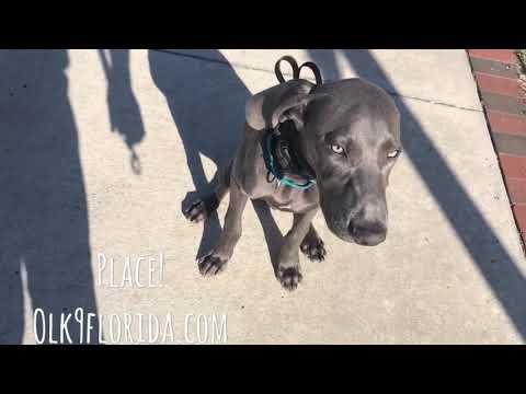 """5 month old Weimaraner """"Jack""""/ weimaraner trainer/ best dog trainer orlando"""