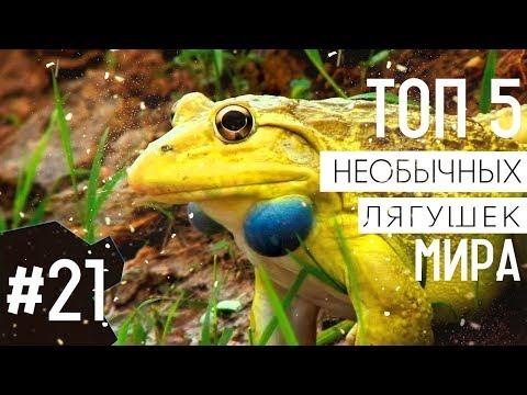 ТОП 5 необычных видов лягушек мира | ТОП 5 удивительных лягушек мира - Видео онлайн