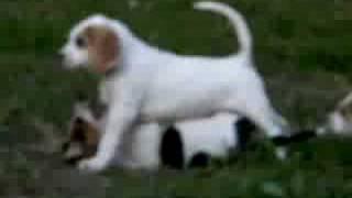 our 7 week old foxhound pups....Hugo, Hamish, Humphrey, Harry, Heat...