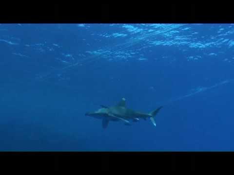 Requins sur Gotta Soraya Mer rouge Egypte