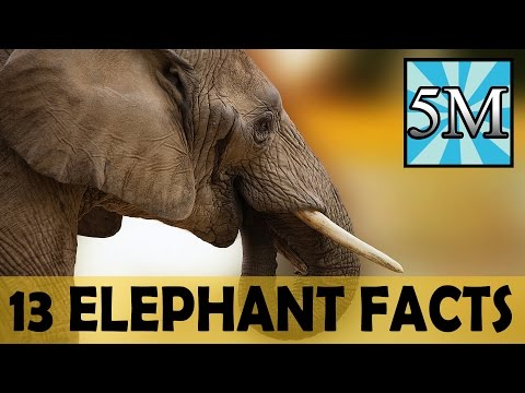 13 Elephant Facts