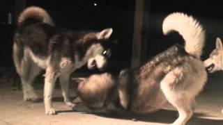 Aggressive ..  Siberian Husky Dubstep Wrestlin