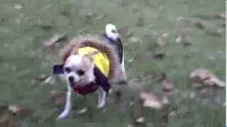 公園を元気に走り回るスムースチワワの「雷電」です。 言うことをよく聞...