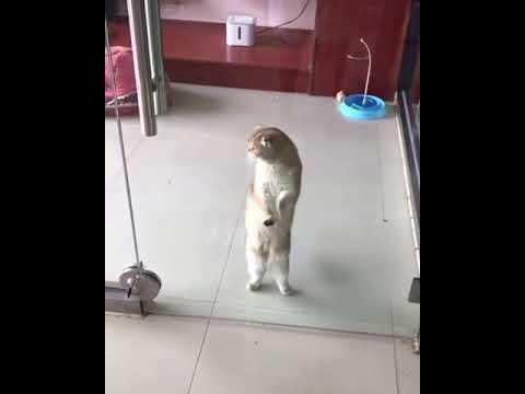 Dancing Cat Macarena