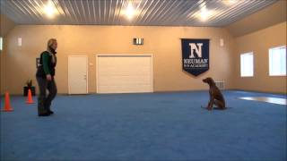 Jack (vizsla) Boot Camp Dog Training Video