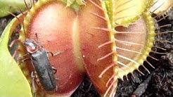 Lihansyöjäkasvi syö koppakuoriaisen Suomi. Carnivorous plant eating a beetle