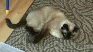 """Тайская кошка """"Острый коготь"""".  (The Thai cat)"""