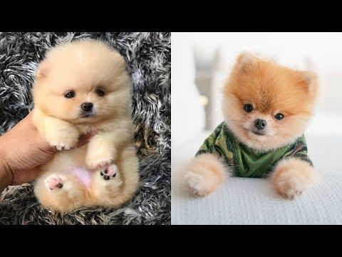 Pomeranian bath | Pomeranian grooming| Pomeranian haircut Compilation #2