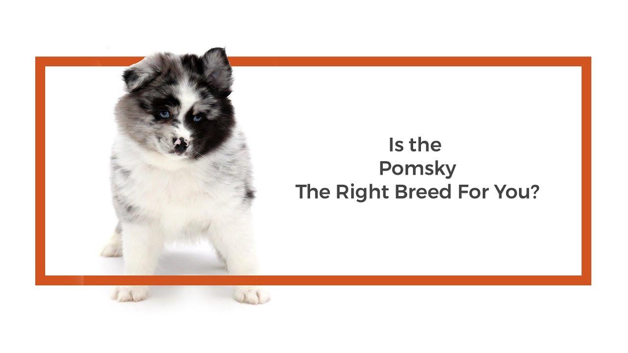 Pomsky Puppies Breed Info - Petland Frisco, TX
