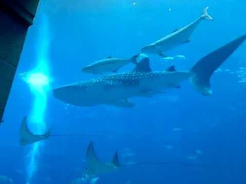 Whale Shark Sammy At Atlantis Hotel Aquarium Palm Jumeirah Dubai