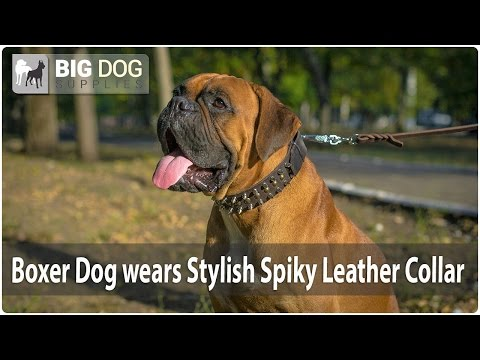 Charming Boxer Presents Adorned Leather Dog Collar for Walking