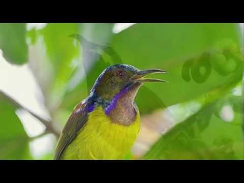 30 Menit Masteran Burung Sogok Ontong Burung Pemakan Madu