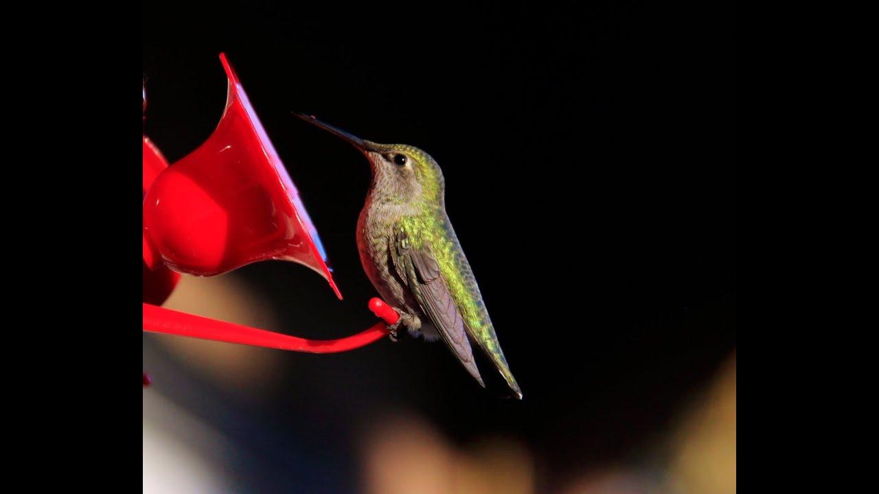 Slide Show Of Some Of My Bird Photos >> My Humming Bird Slideshow Youtube