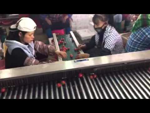 Dates / Olives / Cherry Tomatoes Sorting Machine