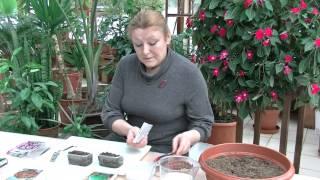 видео Бальзамин ампельный: выращивание из семян, отзывы