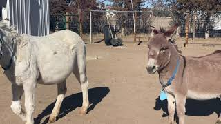 Mini donkey sees other donkeys for the first time in 10 years.
