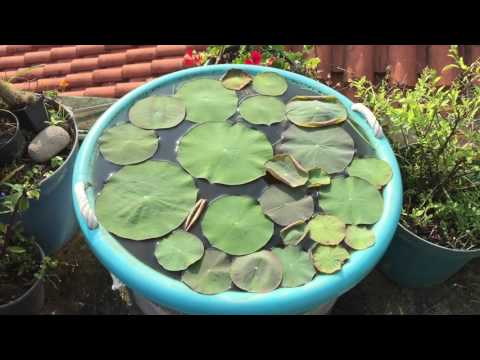 Nelumbo nucifera  in container of 18 gallons