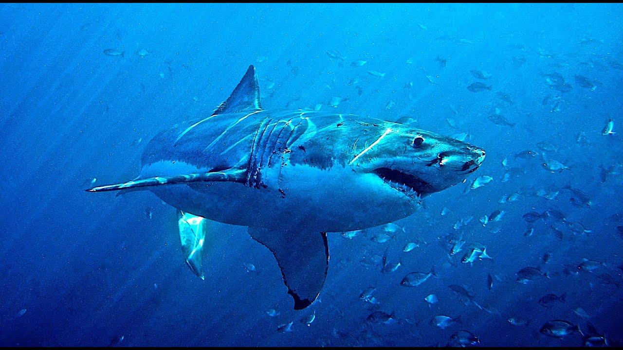 Un norme grand requin blanc great white shark youtube - Dessiner un requin blanc ...