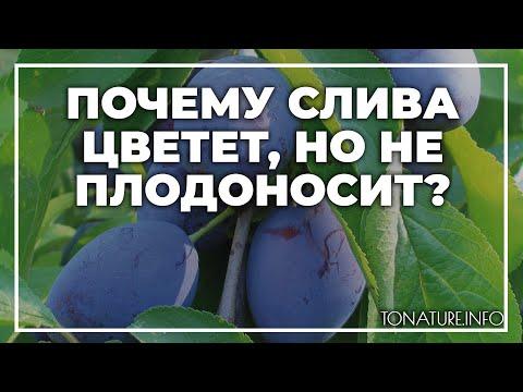 Почему слива цветет, но не плодоносит? | toNature.Info | черенковани | садоводство | размножение | выращивание | огородные | комнатные | растения | растений | культуры | tonatureinfo