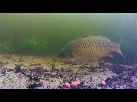 Рыба карп описание, образ жизни, виды, рыбалка, рецепты