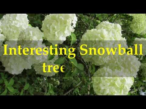 Interesting Snowball Tree Facts