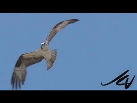 the-osprey---pandion-haliaetus---youtube