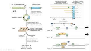 gene expression expresión genética luciferase luciferasa reporter biología molecular biology