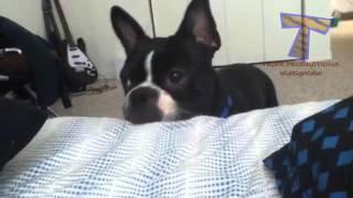 Собаки будят хозяев