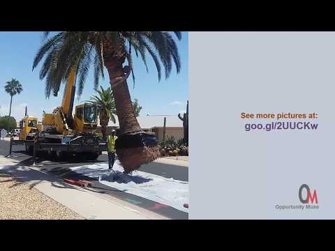 Canary Island Date Palm tree, removal and preparation for transplant in another state