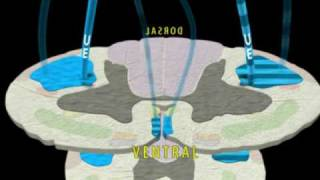 Neuroanatomy - The Corticospinal Tract in 3D