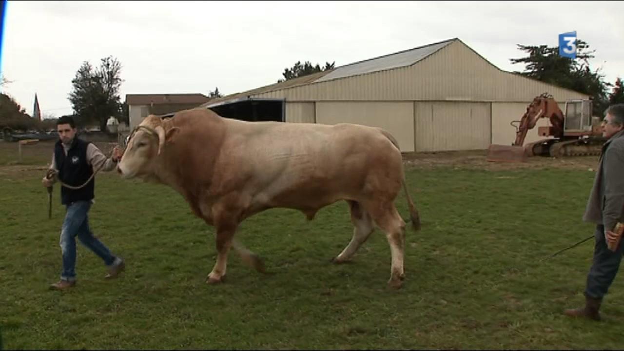 """""""Impérial"""", le taureau d'1,4 tonne des Hautes-Pyrénées, se"""