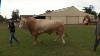 """""""Impérial"""", le taureau d'1,4 tonne des Hautes-Pyrénées, se prépare au Salon de l'agriculture"""
