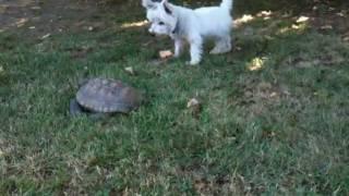Westie Vs. Turtle